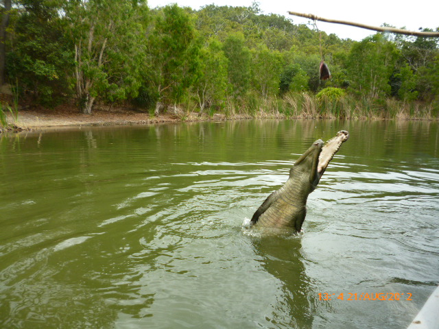 feeding-crocodiles-at-Hartleys-near-Cairns-Australia