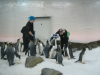 Emperor-penguins-at-Melbourne-Aquarium-Victoria-Australia