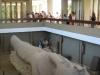 Giant-ramses-statue-memphis-Egypt