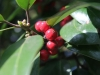 local-Montclair-shrubs-with-spring-berries