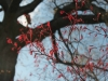 new-spring-growth-on-red-maple-tree