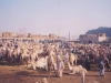 At-the-Cairo-camel-market-Egypt