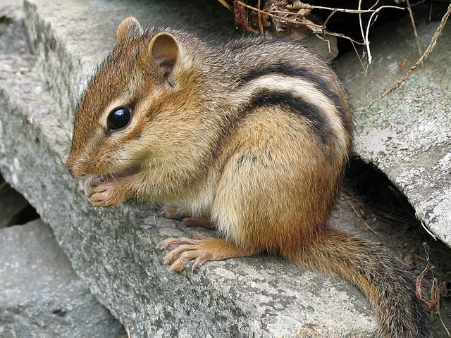 Eastern_chipmunk_Northern_USA