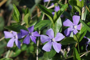 periwinkle-flower-spring-new-jersey