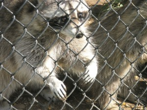Raccoon_New_Jersey