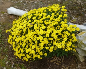 The-flower-called-mums-found-in-fall-in-New-Jersey