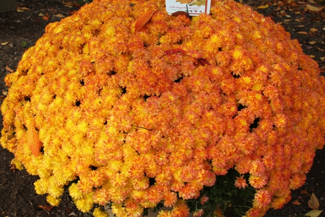 double-colored-mums-flowers-fall-NJ