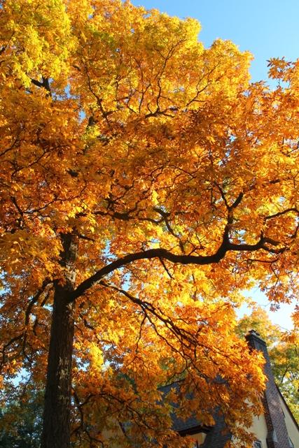 Golden-fall-foliage-Montclair-NJ