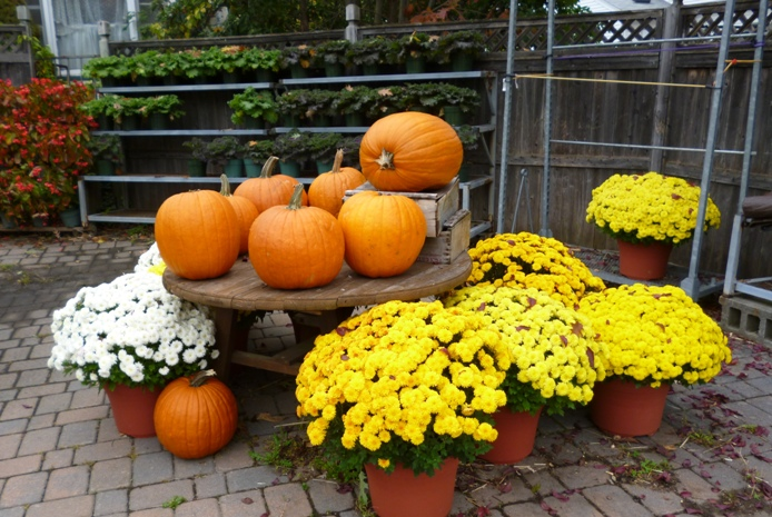 Pumpkins-and-mums-decorations-in-fall-usa