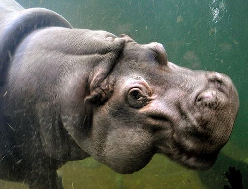 Hippopotamus-adventure-aquarium-camden-nj