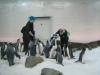Emperor-penguins-at-Melbourne-Aquarium-Victoria-Australia