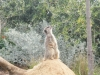 A-gorgeous-meerkat-at-Werribee-Zoo-Victoria-Australia