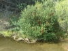 Banksias-are-part-of-heath-bushland-Sydney