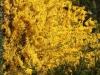 Forsythia-bushes-new-jersey