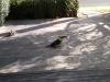 Laughing-kookaburra-sharing-our-bread