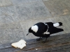 Australian-magpie-visitor-at-kurnell-2