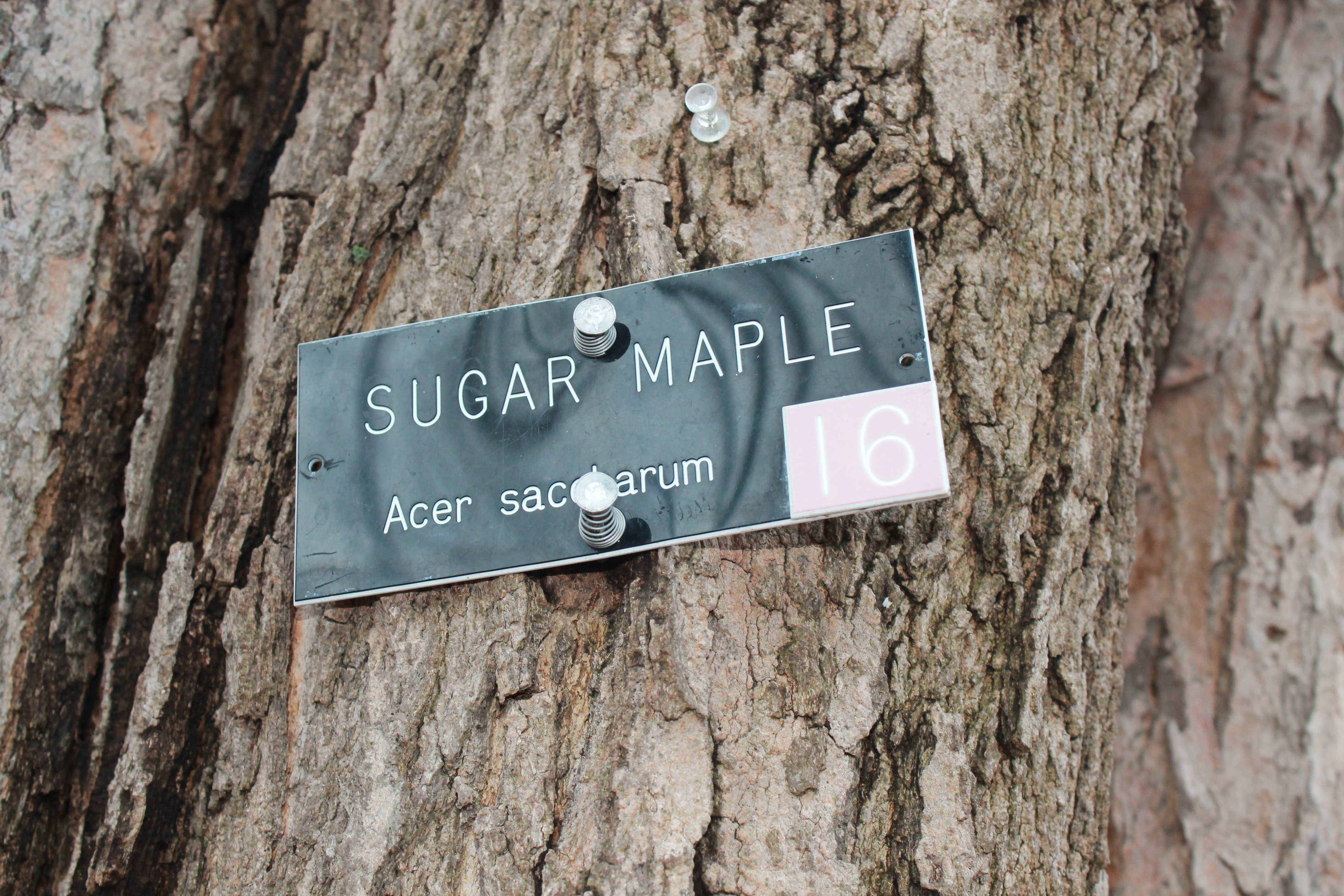 Sugar-maple-trees-in-new-jersey-are-used-to-make-maple-syrup