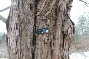 A-sugar-maple-tree-that-is-suitable-for-making-maple-syrup-from-its-sap-new-jersey
