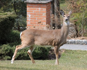 White_tailed_Deer_tenafly_New_Jersey