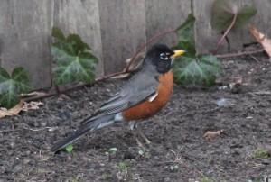 new-jersey-robin