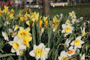 spring-daffodils-in-bloom-summit-new-jersey