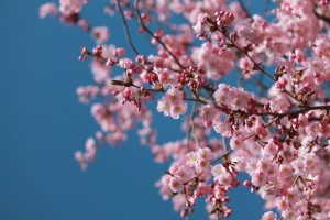 cherry-blossoms-millburn-new-jersey