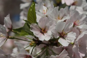 spring-blooms-new-jersey-2013