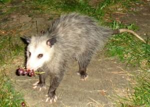 Virginia_Opossum_Northern USA