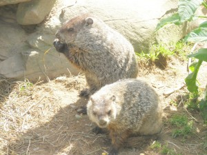 Groundhogs_in_New_Jersey