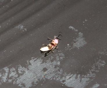 Firefly-abdomen-showing-glow-part-of-their-body-NJ