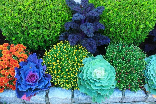 kale-plants-fall-new-jersey