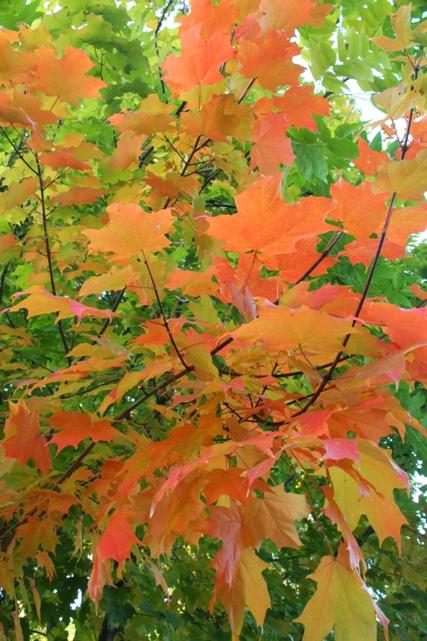 Maple-Fall-foliage-front-yard-Montclair-NJ