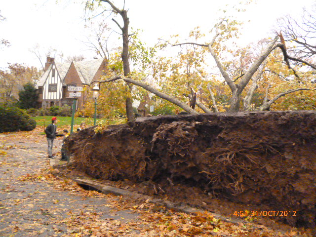 Enormous-trees-knocked-over-by-Sandys-strong-winds