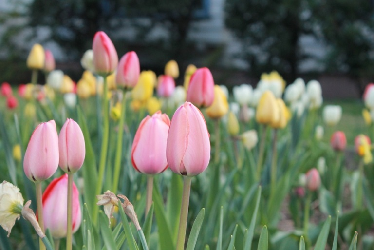 Tulip-blooms-in-April-NJ