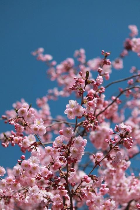 Cherry-Blossom-Festival-April-NJ