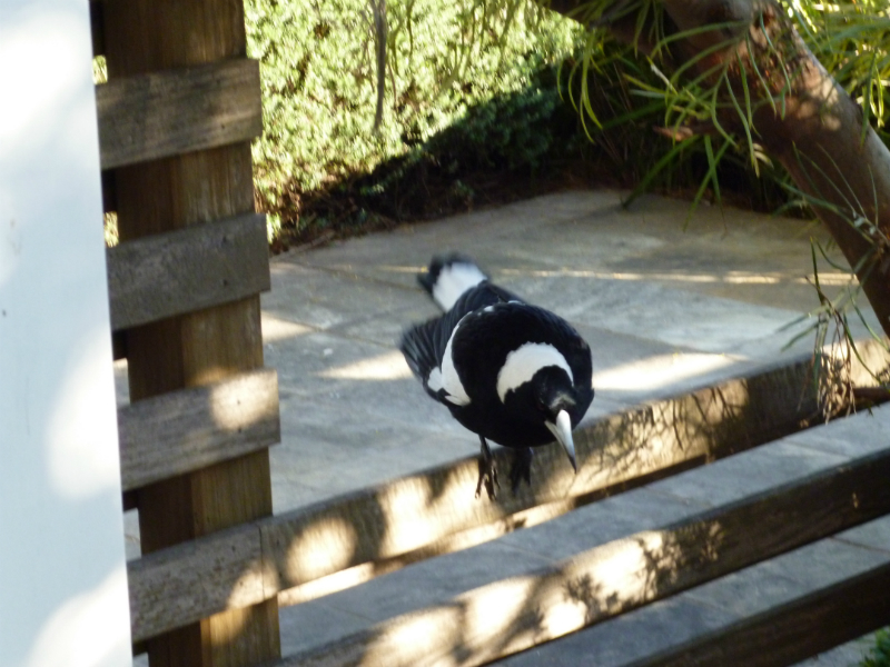 magpie-visitor-kurnell-1